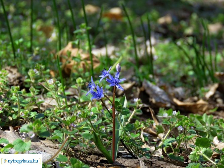 Újra nyílik védett növényritkaságunk - Ünnepi csillagvirág-számlálás a Sóstói-erdőben