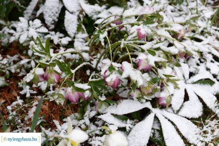 Márciusi havas pillanatok – Így borítják be a hópelyhek a nyíló virágokat Nyíregyházán