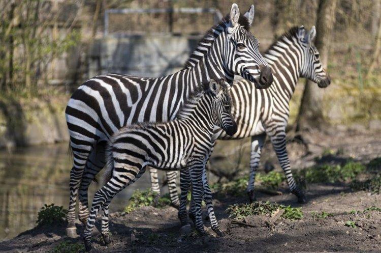 Zebra csikó látott napvilágot a Nyíregyházi Állatpark Afrika kifutójában
