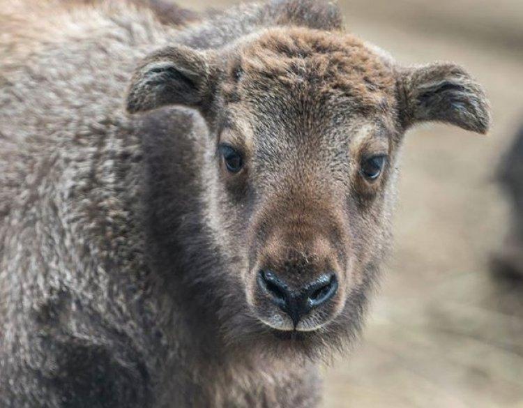 Mishmi takin született a Nyíregyházi Állatparkban – Kilencfős lett a takin-csapat!