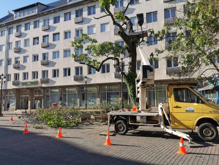 Favágási munkálatokat végeznek a város több pontján a NYÍRVV munkatársai