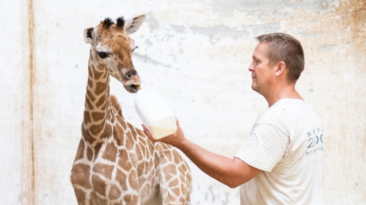 Rothscild-zsiráf született a Nyíregyházi Állatparkban: a Jubileum nevet kapta
