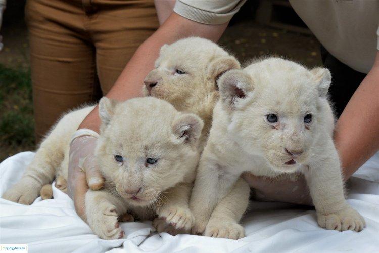 Új kedvencek  a Nyíregyházi Állatparkban – Fehér oroszlánkölykök születtek!
