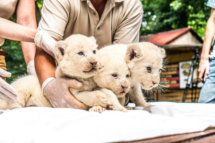 Adjon nevet a Nyíregyházi Állatpark legújabb jövevényeinek, a fehér oroszlánkölyköknek!