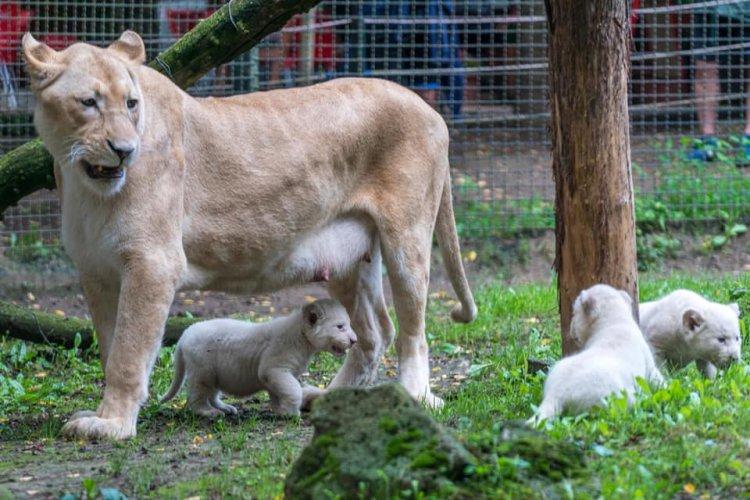 Már a közönség is láthatja a Nyíregyházi Állatpark fehér oroszlán kölykeit