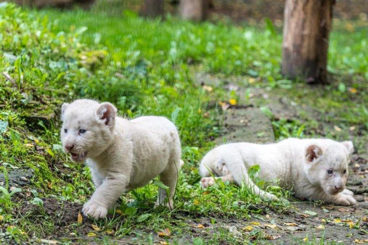 Öt hetesek lettek a Nyíregyházi Állatpark fehér oroszlánkölykei – Videó!