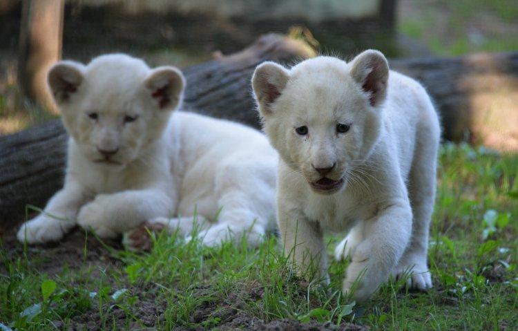 Nevet kaptak a Nyíregyházi Állatpark fehér oroszlánkölykei – Dipita, Enam és Abeni