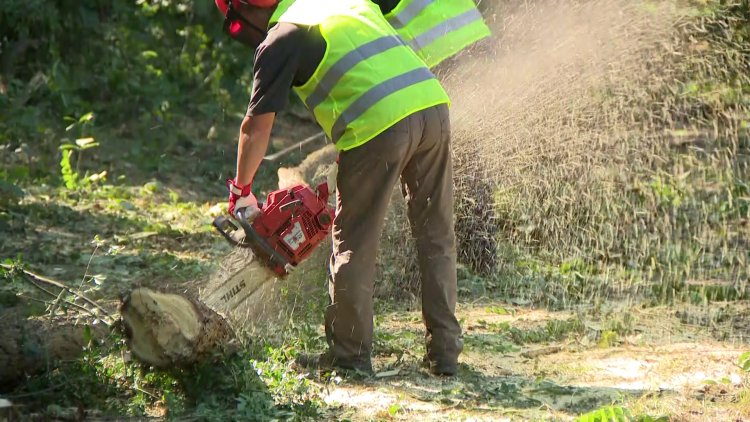 Fakitermelés – Több mint 110 éves, beteg, korhadó fákat vágnak ki a Sóstói-erdőben