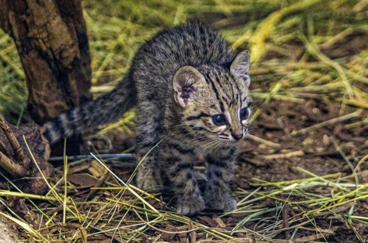 Ritka Geoffroy-macska született a Nyíregyházi Állatparkban