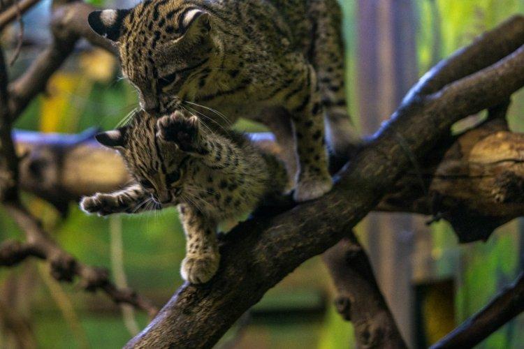 Geoffroy-macska született a Nyíregyházi Állatparkban – Videó!