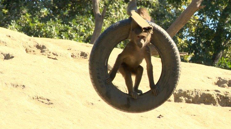 A páviánok dombján mindig zajlik az élet a Nyíregyházi Állatparkban!