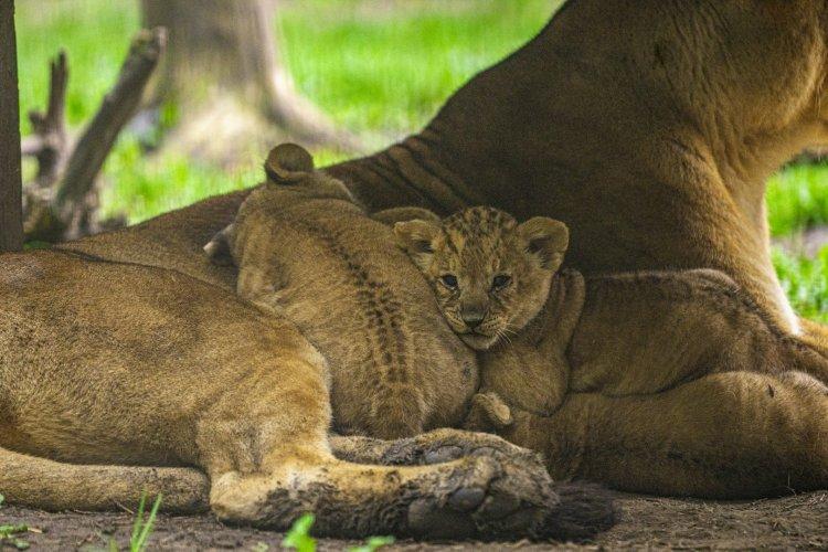 Négyes ikrek születtek a Nyíregyházi Állatpark oroszláncsaládjában