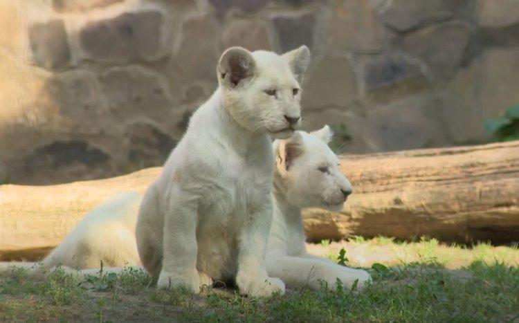 Videó! - Három hónaposak lettek a Nyíregyházi Állatpark fehér oroszlánkölykei
