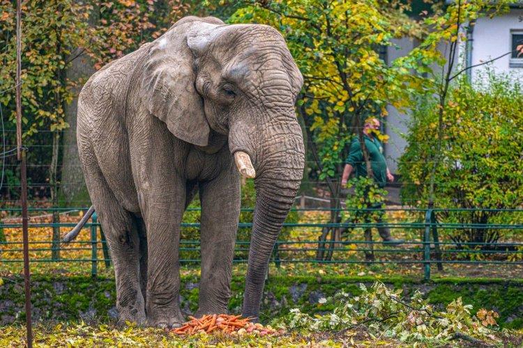 2 év távollét után visszatért a Nyíregyházi Állatparkba Jack, az afrikai elefánt