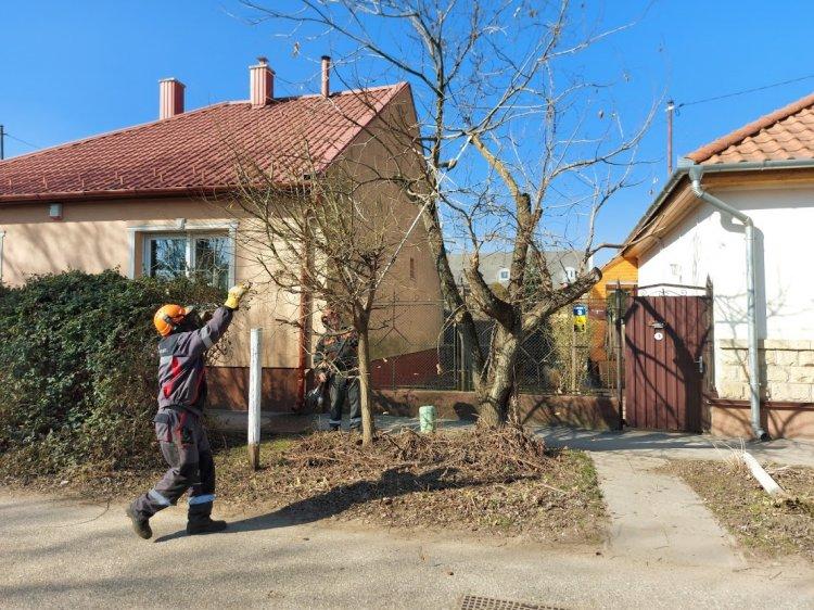 Favágási, faápolási munkát végeznek főkertészi utasítás alapján a Mikszáth Kálmán utcán