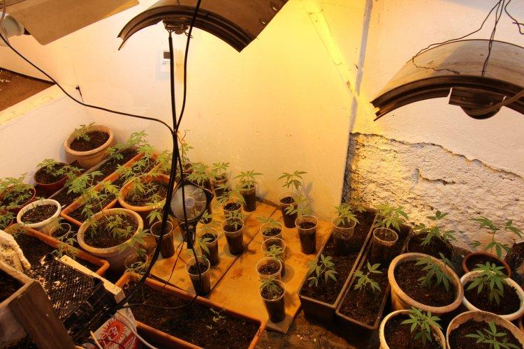 50 tő cannabist foglaltak le a nyíregyházi nyomozók