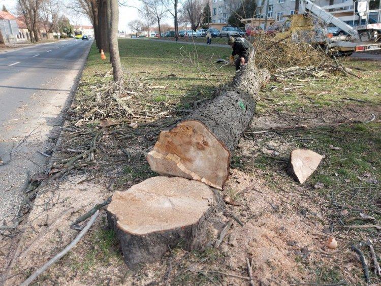 Kivágtak egy fát a Család utcán, a munkálatok alatt forgalomkorlátozás volt érvényben