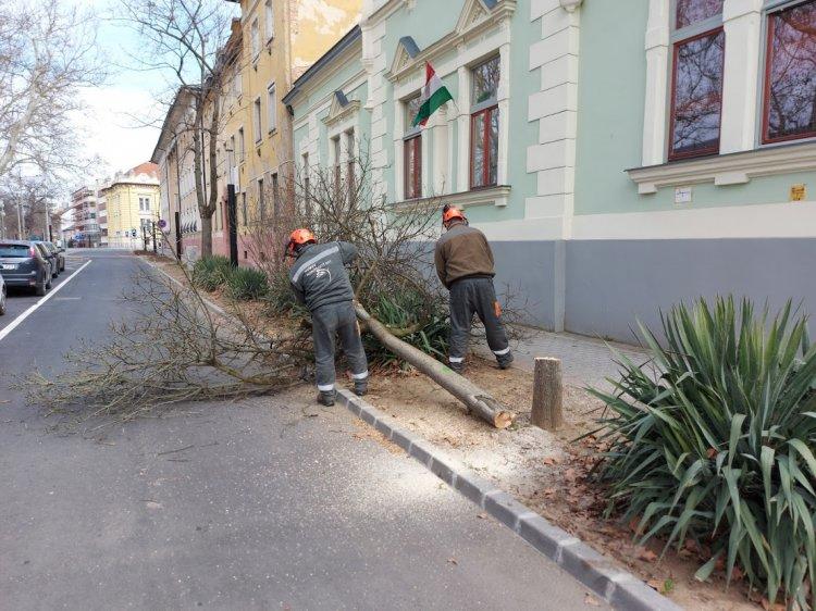 A Benczúr téren három kiszáradt fát vágtak ki a NYÍRVV szakemberei a főkertész utasítására