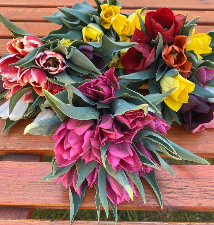 Varázslatos tulipánmező Nyíregyháza határában: 7000 tő várja a jó időt!