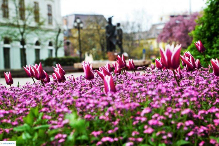 Virágzó tulipánok százai várnak ránk a belvárosban Nyíregyházán!