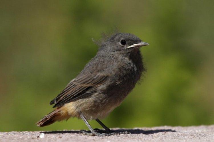 A talált madárfiókák többsége nem árva, nem szorul megmentésre, ne szedjük össze őket!