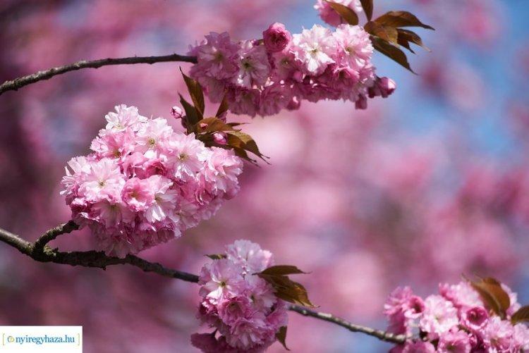 Káprázatos látványt nyújt a japán cseresznyevirágzás Nyíregyházán!