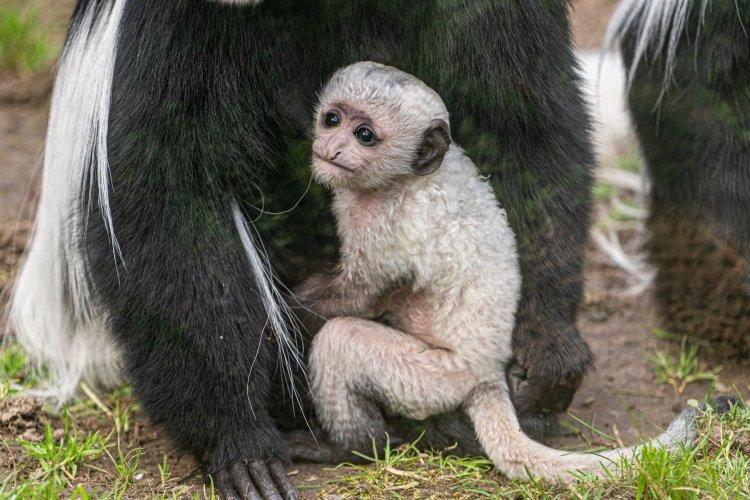 Nyíregyházi Állatpark – Zászlósfarkú gereza kölyök született