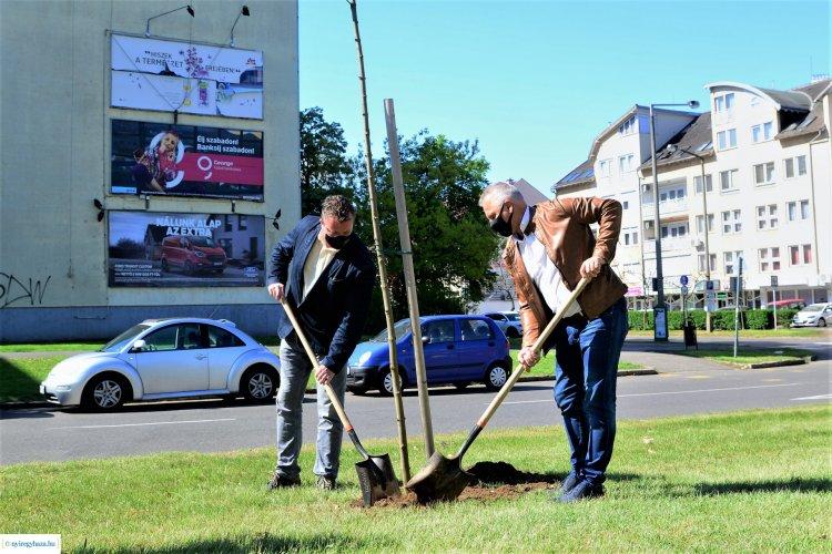 Ismét fákat ültettek Nyíregyházán – Öt korai juharral gazdagodott a város zöldfelülete