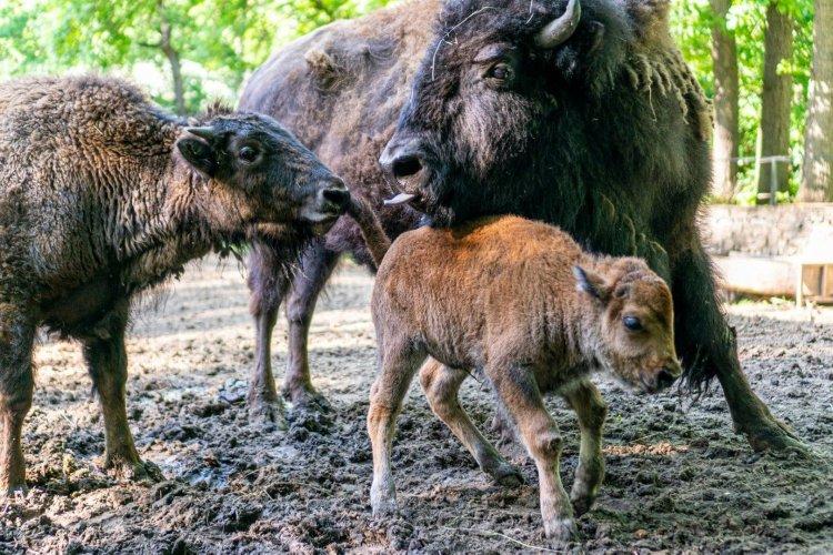 Európai és amerikai bölény borjú is született a Nyíregyházi Állatparkban