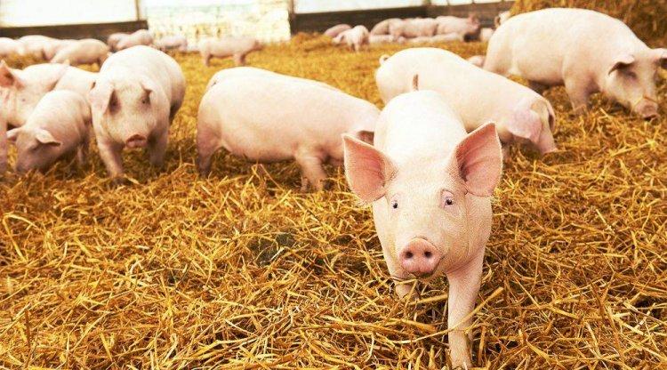 Afrikai sertéspestis kampány: még több országban hívja fel a figyelmet az EFSA