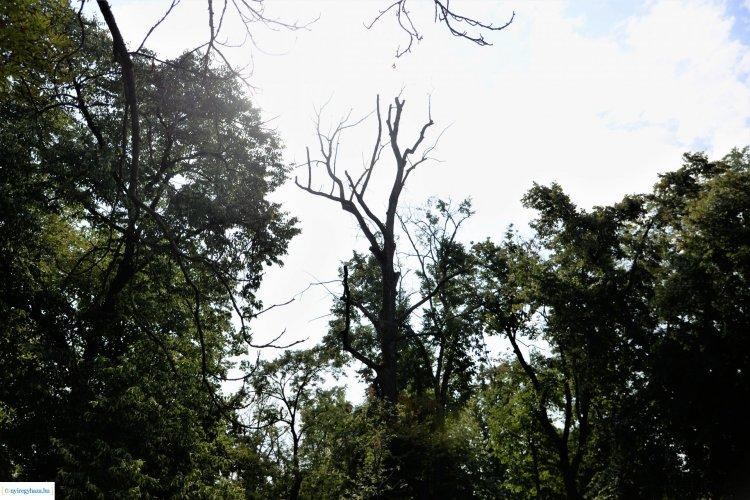 Fakivágás – 11 sérült, kiszáradt fát vágnak ki Sóstón a központi parkban