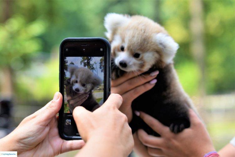 Cukiságfaktor kimaxolva – Vörös panda látott napvilágot a Nyíregyházi Állatparkban