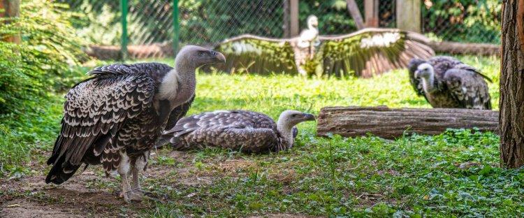 Nyíregyházi Állatpark: nagy a sürgés-forgás a karvalykeselyűk háza táján