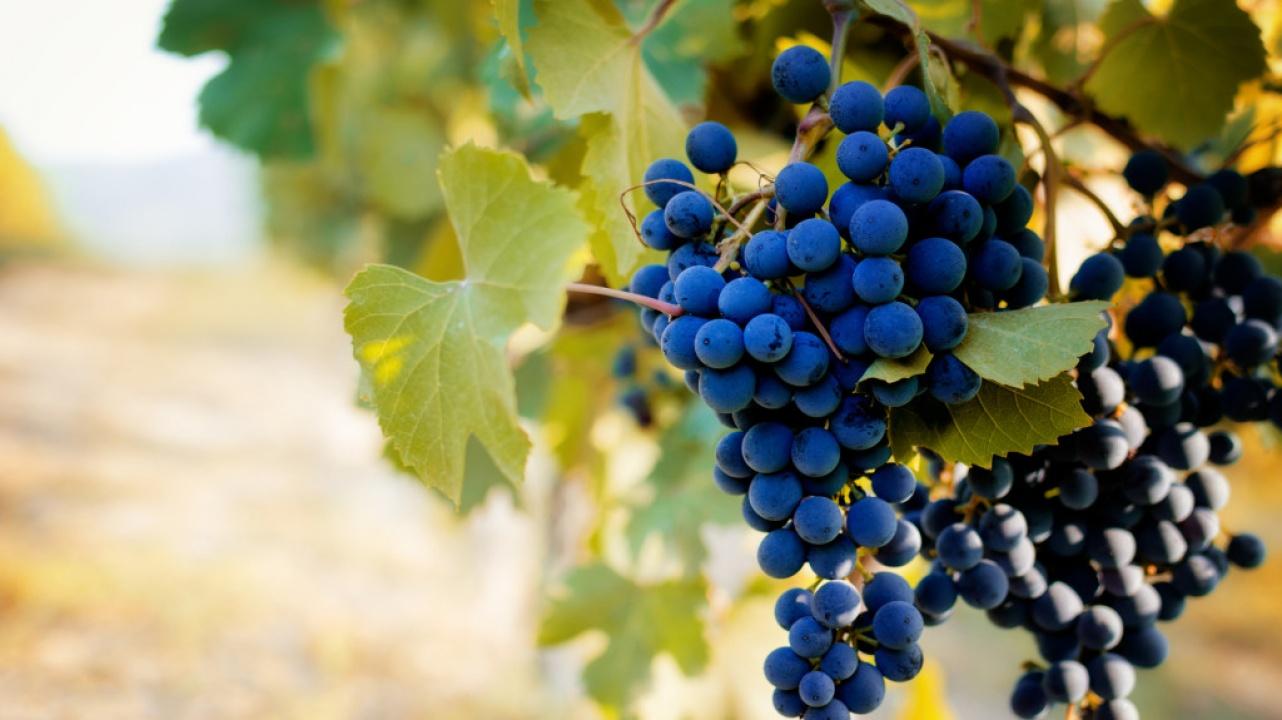 szőlő simon opciók)
